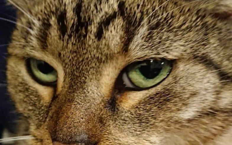 Jak zwalczyć pchły u kota