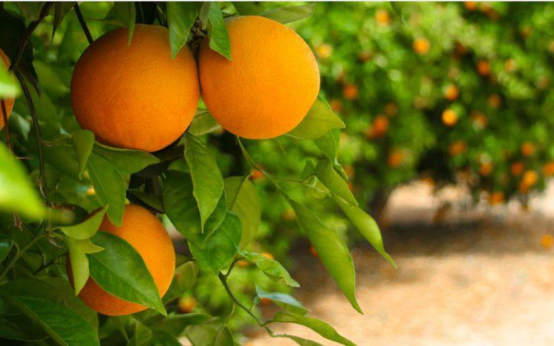 Dzika Pomarańcza – antydepresant, energetyzuje, oczyszcza